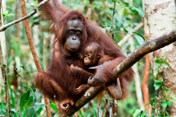 Orangutan di Kalimantan Terancam Punah