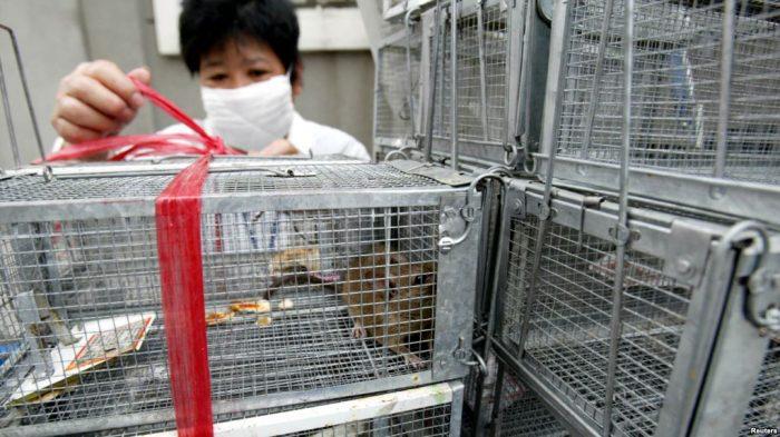 Kasus Pertama Hepatitis E Tikus pada Manusia Ditemukan di Hong Kong