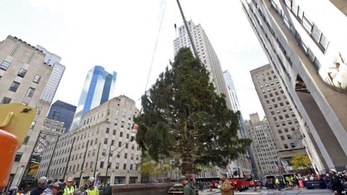 Para pekerja memasang pohon natal Rockefeller Center setinggi 22 meter dan seberat 12 ton (11/11).