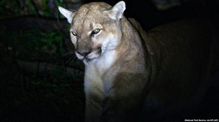Pria Colorado Cekik Singa Gunung untuk Selamatkan Diri