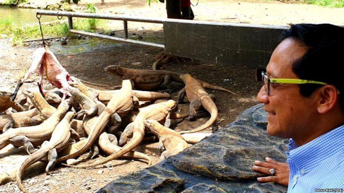 Komodo Tetaskan 74 Telur, Kebun Binatang Surabaya Bersemangat