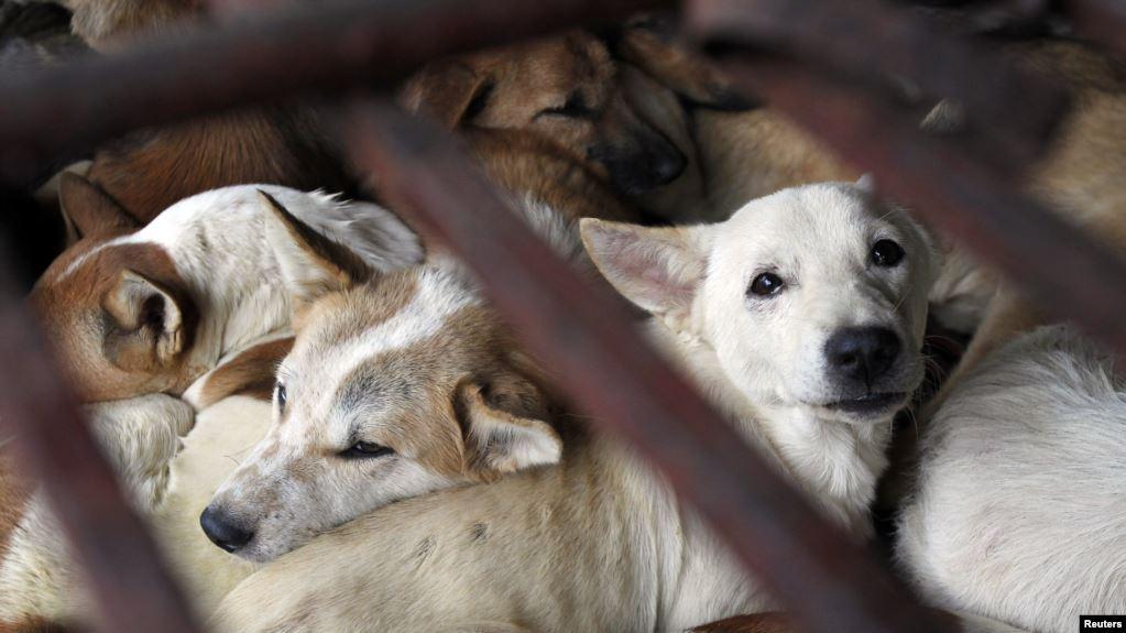 Pro Kontra Larangan Daging Anjing Sebagai Bahan Kuliner di Solo